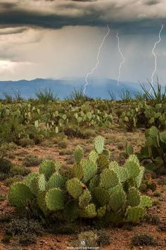 Monsoon lightning in the cactus desert Arizona Cactus, Desert Cactus, Desert Plants, Desert Life, Cactus Y Suculentas, Cactus Flower, Cacti And Succulents, Beautiful Landscapes, The Great Outdoors
