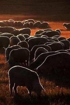 Flock of sheep - Pixdaus. Lines of light