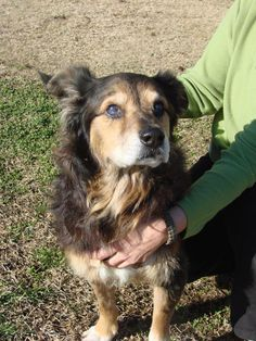 """BEYOND URGENT!!! PTS AT ANY TIME!!! Kinston, NC; """"Old Man"""" Terrified, Senior, Aussie X w/Diminished Vision & Possibly Diminished Hearing **CODE RED** PLEASE HELP!!! TIME CRITICAL!!!  Please help this sweet senior find a new forever home or rescue before it is too late!!! Lenoir County SPCA  PO Box 1481 Kinston NC 28501 Phone: 252-520-0003 E-Mail: LenoirCountySPCA@yahoo.com   http://www.petfinder.com/shelters/nc61.html"""