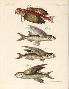 scientific illustration, flying fish, Frederich Bertuch, 1807