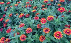 Zinnias are easy to sow! #gardenchat