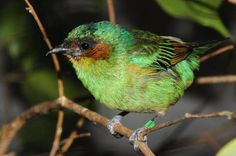 Rufous-cheeked Tanager (Tangara rufigenis), residual and endemic to coastal region of northern Venezuela. Wild Animals Pictures, Horse Pictures, Birds 2, Cute Birds, Rainbow Sky, Colorful Birds, Little Birds, Bird Feathers, Beautiful Birds