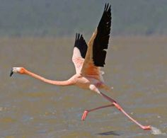 American Flamingo in flight Flamingo Pictures, Strawberry Moons, Flocking, Beautiful Birds, Wildlife, Murals, Cute, Photography, American