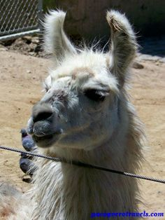 Alpaca #buenosaires #argentina http://www.pacoyverotravels.com/2014/05/visita-zoologico-palermo-buenos-aires.html