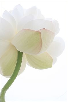 Did you know, the Lotus Flower is a powerful antioxidant that helps protect the skin from free-radical damage? It has the unique property of inhibiting the release of cutaneous neuropeptides - the molecules that cause our skin to flare, making it ideal for calming and soothing reactive skin. That's why we use it in our Lotus & Orange Blossom BioAffinity Tonic!