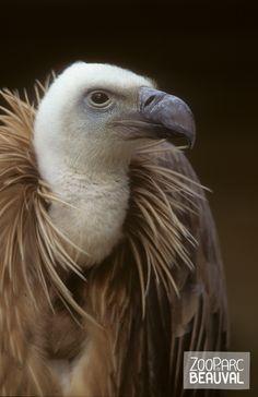 Le vautour de l'Himalaya mène une vie à haut risque ! Il peut installer son nid sur le flanc d'une falaise parfois à près de 2000 mètres d'altitude.