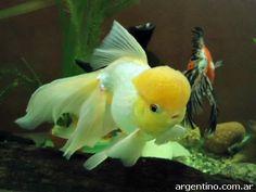 Lionhead Goldfish, Oranda Goldfish, Goldfish Aquarium, Goldfish Pond, Tropical Freshwater Fish, Freshwater Aquarium Fish, Tropical Fish, Aquariums, Goldfish Species
