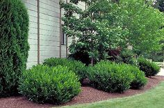 Oto Luyken Laurel   A beautiful shrub, just give it some room, and let grow into a mounding bush.