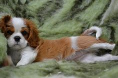 Very Sweet puppy Cavalier King Charles Dog, King Charles Spaniel, Fluffy Animals, Cute Animals, Dog Love, Puppy Love, Pets 3, Spaniel Dog, Cute Dogs And Puppies