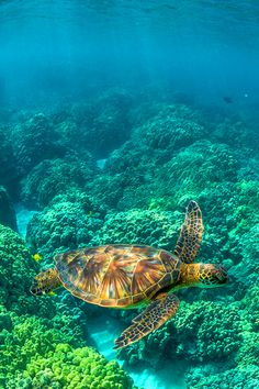 Green Sea Turtle Swimming among Coral Reefs off Big Island of Hawaii~ Lee Rentz!