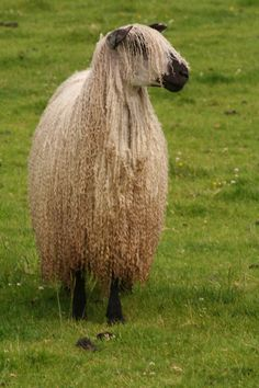Teeswater - Rare breed from Northern England. The white wool is curly, silky and has a lustrous creamy quality