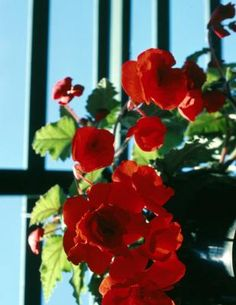 Container-grown begonias (Begonia spp.) bring nature indoors when a plant from one of the many begonia groups is used as a houseplant. Several begonia groups feature bright, colorful flowers, while ...