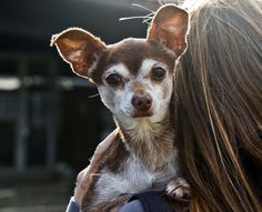 This July 20, 2013 photo provided by the Best Friends Animal Society shows Kringle at his adoptive home in the Mission Hills area of Los Angeles.  Animal she...