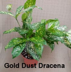 Gold Dust Dracena - feeling lucky?  try growing this plant with gold spotted leaves  http://thegardeningcook.com/6-easy-houseplants-to-grow/