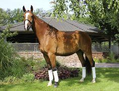 Davidoff_German Sport Horse