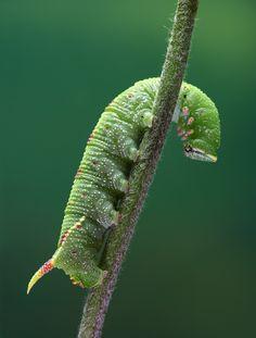 ˚Poplar Hawk Moth Larva