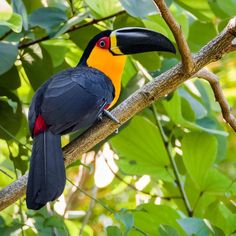 Tropical Birds, Exotic Birds, Colorful Birds, Exotic Pets, Cute Baby Animals, Animals And Pets, Bird Doodle, Rainforest Animals, Most Beautiful Birds
