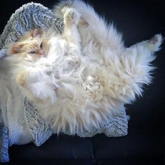 Incredibly Fluffy Ragdoll Cat Resembles a Giant Cuddly Cotton Ball #giantragdollcat