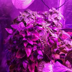 #DIY #aeroponics grow bin. Progress report. 8/28/15 a forest of basil. Ive been testing pruning methods to see just how busy I can get these plants. Ive also noticed they do better near each other.  #scienceofgrowing #indoorfarming #urbanfarming #testing #rootzone #hydroponics #nopesticides #ledgrowlights #basil #sweetbasil by floraofeden