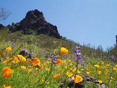 Picacho Peak Wildflowers in Picacho, AZ