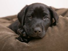 Black Lab. This looks like my Scouty!