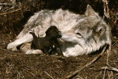 Via https://www.facebook.com/pages/Living-with-Wolves/118401838193984?fref=photo