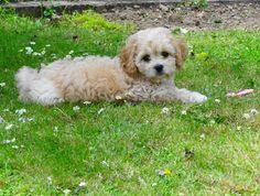 Cavachon puppy