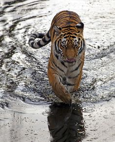 "Tiger emerging from the water: Rather like Daniel Craig in ""James Bond"" AND Just as Good Looking!"