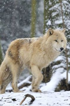Wolves are an extremely social animal. They exist as a social unit called a pack. Within each pack...