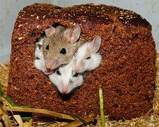 Mastomys, Mice, Nager, Rodents, Pets