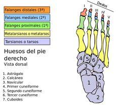 En esta entrada aprenderéis cuántos huesos tiene el pie, el nombre de cada uno de ellos y su respectiva ubicación (con imagen).