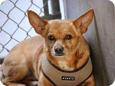 Mesa, AZ - Chihuahua Mix. Meet SKIPPER, a dog for adoption. http://www.adoptapet.com/pet/12627155-mesa-arizona-chihuahua-mix