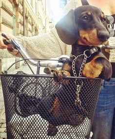 Oh !!! how I love those little faces! #dachshund #cute #dogs #pets