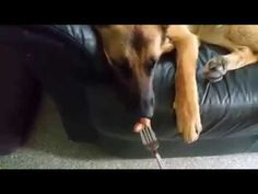 Cute dog :)  Sleeping hot dog teasing. German Shepherd sleeping :)