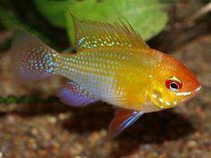 Microgeophagus ramirezi 'gold' - Golden Ram Pair