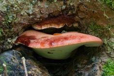 Langue de boeuf - Fistulina hepatica, un champignon commun par ici, que je trouve sur le pied des chênes ou sur leur souche.