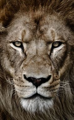 Portrait of a king by arzan bulsara lion tattoo design, lion wallpaper, beautiful cats Beautiful Cats, Animals Beautiful, Animals And Pets, Cute Animals, Wild Animals, Lion Photography, Lion Love, Lion Tattoo Design, Lion Wallpaper
