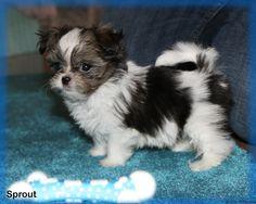 Media Library ‹ Always Adorable Mi-Kis — WordPress Puppy Nursery, Cute Little Puppies, Puppies For Sale, Maltese, Shih Tzu, Adoption, Wordpress, Dogs, Florida