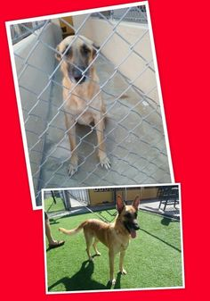 #FOUNDDOG 1-26-14 #GERMANSHEPHERD MIX GUCCI COLLAR LOOKING FOR FOREVER HOME https://www.facebook.com/carolyn.r.robbins.9/posts/10201799163205532