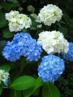 cuidado de las hortensias en jardin