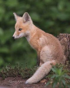 Red Fox Cub by Rhoda Gerig