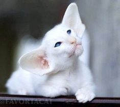 Exceptional Beautiful cats information are readily available on our internet site. Pretty Cats, Beautiful Cats, Animals Beautiful, I Love Cats, Crazy Cats, Cool Cats, Cute Funny Animals, Cute Baby Animals, Kittens Cutest