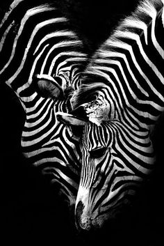 Zebra's. Black and white/monochrome. For similar pins please follow me at -https://www.pinterest.com/annelouise1959/colour-me-monochrome-black-and-white/