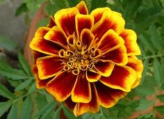 October Birth Flowers Marigold October Birth Flowers, Birth Month Flowers, Marigold Flower, Flower Petals, Marigold Tattoo, Lotus Flower, Amazing Flowers, Love Flowers, Purple Flowers