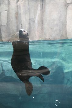 Did you know that sea otters have the thickest fur of any animal? They have 10 times as many hairs in one square inch as you have on your entire head Big Animals, Underwater Photos, Animal Facts, Manatee, Sea Birds, Otters, Dolphins, Animals Beautiful, Mammals