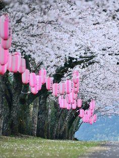 Le Japon au Printemps ! Tadamoto Park, Isa, Kagoshima, Japan, sakura, cherryblossom