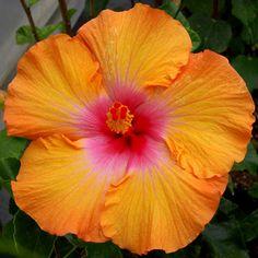 """""""Sunrise Dance"""" Hibiscus Rosa Sinensis / Hybridizer  C. Black"""