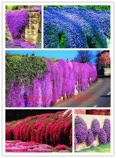 100 pcs rock cress seeds PERENNIAL FLOWERING GROUNDCOVER SEEDS rare flower seed for home garden