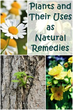 Plants and Their Uses as Natural Remedies - There are many different plants that can be used as natural remedies. These are a few of the more potent medical plants you're likely to find in the wild – or even someone's backyard – that can help with minor injuries, scrapes, bites and pains.