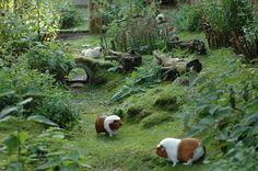 Guinea Pig Paradise.